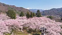 信州の美 春の花2020