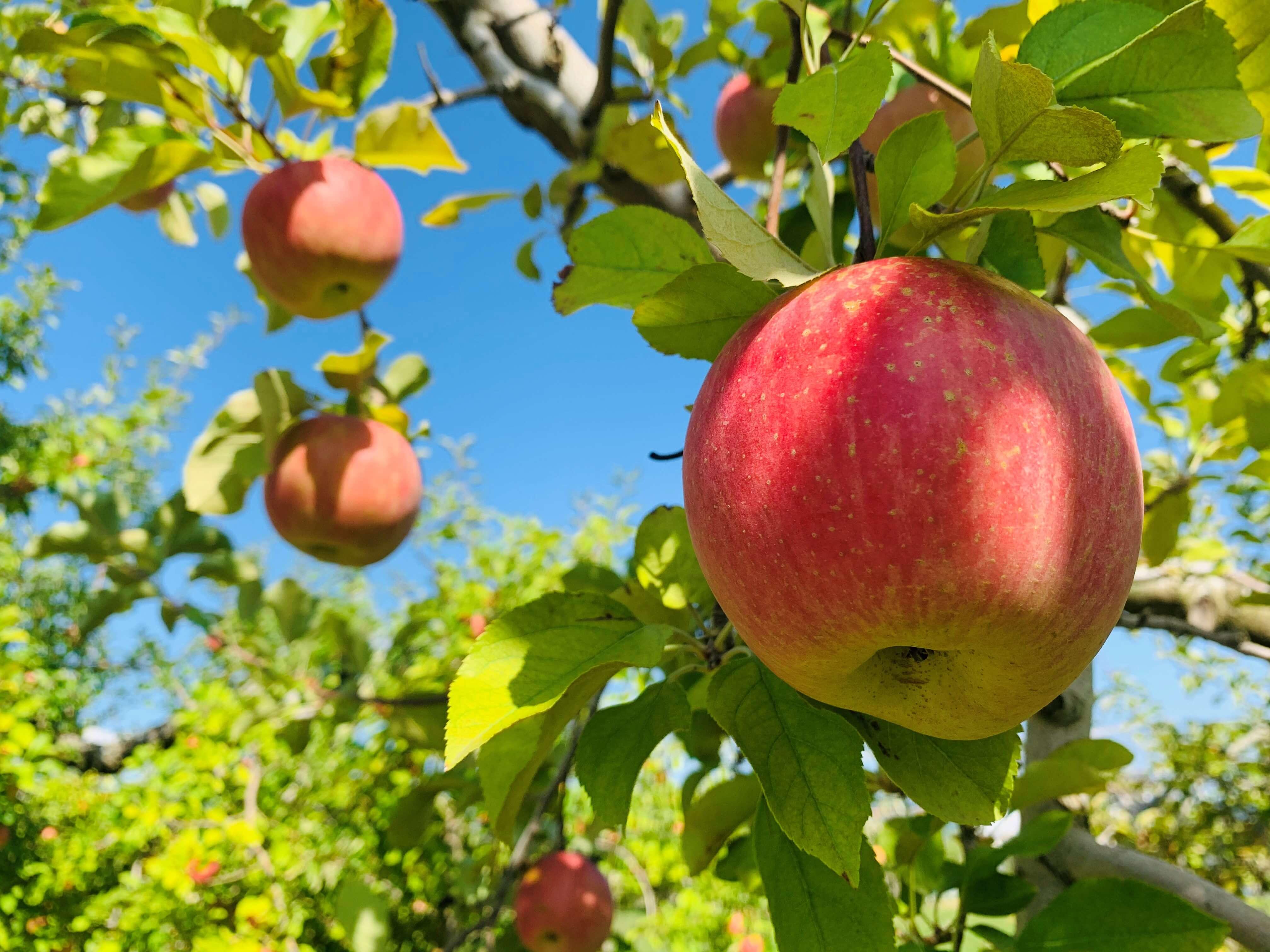 リンゴ (楠原)