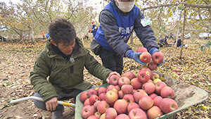 被災したリンゴ畑・ボランティア|復興へ一歩一歩 アップルラインのいまを見つめて