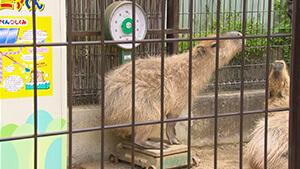 須坂市動物園・動物体重測定