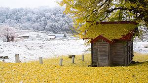 大イチョウと雪原(飯山市)|シリーズ 信州の美 冬の芸術