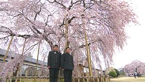 杵原学校のしだれ桜(飯田市)
