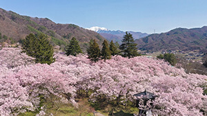 高遠城址公園(伊那市高遠)・天下第一の桜