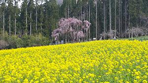 坪井のしだれ桜(高山村)