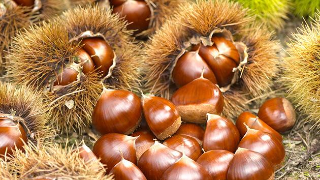 小布施の栗|信州の美味しい秋 小布施の栗