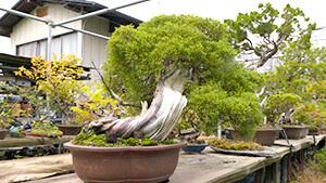 日本で唯一の女性盆栽技能保持者