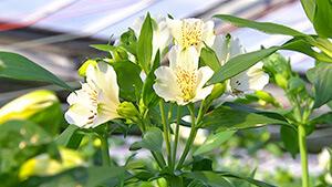 アルストロメリア|日本一だ!信州の花づくり