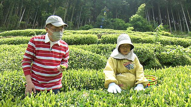 茶摘み|天龍村の中井侍銘茶を探る