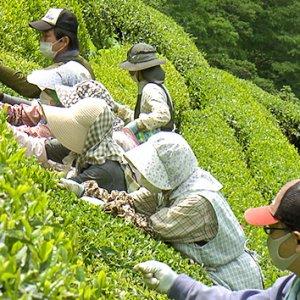 天龍村の中井侍銘茶を探る|松坂彰久