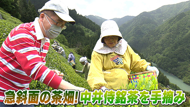 急斜面の茶畑!中井侍銘茶を手摘み / 天龍村の中井侍銘茶を探る
