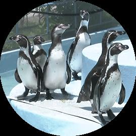 臨時休業中にペンギン舎リニューアル!|お家で楽しむ須坂市動物園