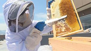 ハチミツ採集